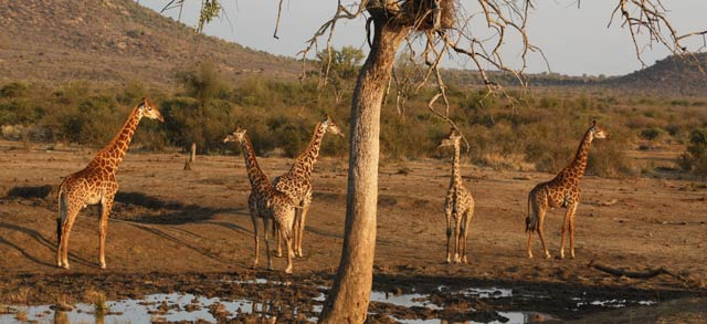 south africa giraffes-1